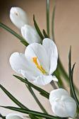 White flower crocus — Stock Photo