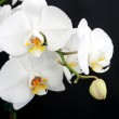 White orchid on black — Stock Photo