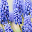 Stock Photo: Field of Grape Hyacinths