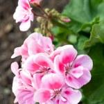 Garden geranium - Pelargonium — Stock Photo