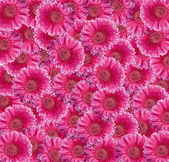 Pink Gerbera Daisy collage — Stock Photo