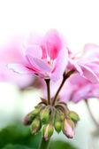 Zahradní pelargónie — Stock fotografie