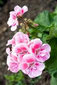 Ogród geranium - pelargonium — Zdjęcie stockowe