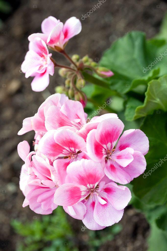 粉色花他们春天盛开的花园天竺葵