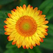 Zahradní sluneční květinou — Stock fotografie