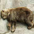 Brown bear sleeping — Stock Photo