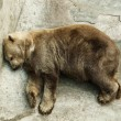 Stock Photo: Brown bear sleeping