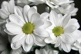 White chrysanthemum — Stock Photo
