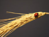 Ladybird on a stalk of wheat — Stock Photo