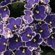 Saintpaulia - blue African violet — Stock Photo