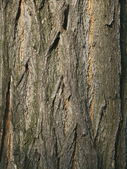 Bark of locust tree — Stock Photo