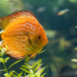 Stock Photo: Discus fish