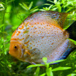 Stock Photo: Discus fish swimming