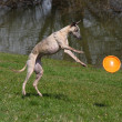 Stock Photo: Whippet playing