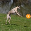 Whippet playing - Stock Photo