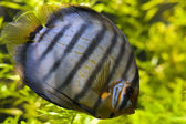 Discus (Symphysodon Aeqifasciata) — Stock Photo
