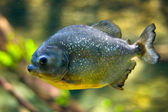 Red-belly Piranha (Serrasalmus Nattereri — Stock Photo