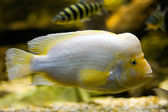 Midas Cichlid (Cichlasoma Citrinellum) — Stock Photo