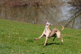 Whippet playing — Stock Photo
