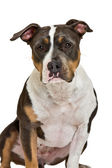 American staffordshire terrier portrait — Stock Photo