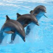 Bottlenose Dolphins performing in a show — Stock Photo #2281083