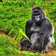 Male Silverback Gorilla — Stock Photo #2281375