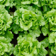 Lettuce grown — Stock Photo