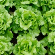 Foto de Stock  : Lettuce grown