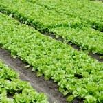 Vegetable plots of vegetables — Stock Photo #2392134