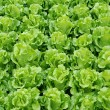 Lettuce grown — Stock Photo #2392162