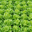 Stock Photo: Lettuce grown
