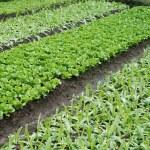 Vegetable plots of vegetables — Stock Photo #2392398