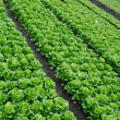 Vegetable plots of vegetables - Stock Photo