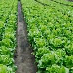 Vegetable plots of vegetables — Stock Photo #2394248