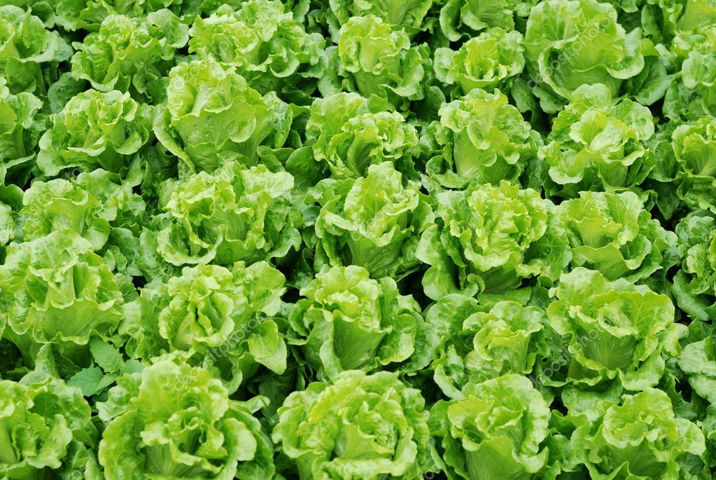 The lettuce grown in vegetable plots — Stock Photo #2392190