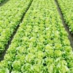 Vegetable plots of vegetables — Stock Photo #2400913