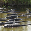 Group of American Alligators — Stock Photo
