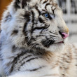 Close up of a White Tiger Cub — Stock Photo