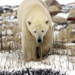 Polar Bear up close — Stock Photo #2486514