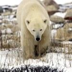 Полярный медведь близкого — Стоковое фото