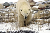 Polar Bear up close — Stock Photo