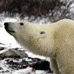 Белый медведь в Канаде — Стоковое фото