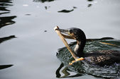 White breasted cormorant — Stock Photo