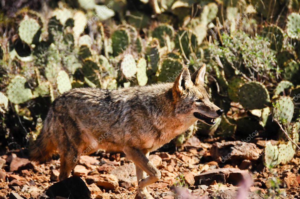 A coyote in the desert looking for a meal — Stock Photo #2531565