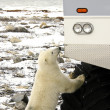Polar Bear — Stock Photo #2545524