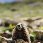 Постер, плакат: Marmot on a Rock