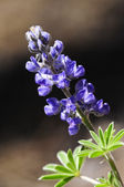 Palmer Lupine — Stock Photo