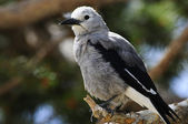 Clark's Nutcracker — Stock Photo