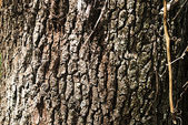Oak Treee Bark Background — Stock Photo