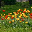 Tulips in the sun — Stock Photo #2608602
